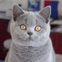 SAWADAS BRITISH SHORTHAIRS