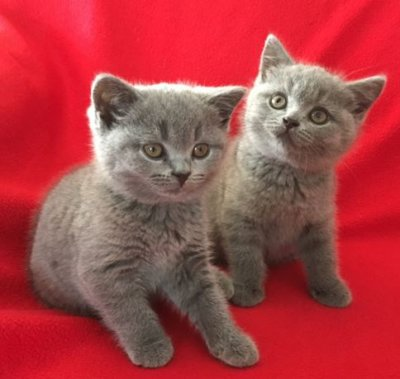 Natakye British Shorthair