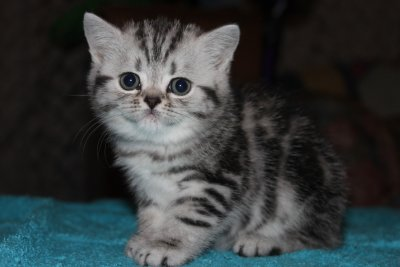 Bibaringa British Shorthairs